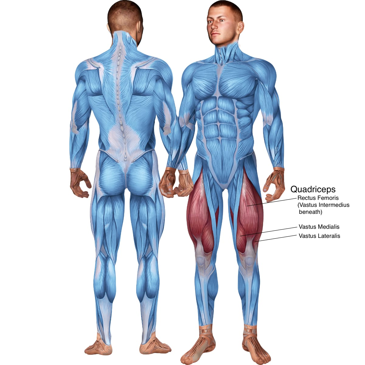 Skeletal muscle systems for a muscular man both front and back pose, with the Quadricep Muscles labeled (Rectus Femoris, Vastus Intermedius, Vastus Medialis, and Vastus Lateralis).