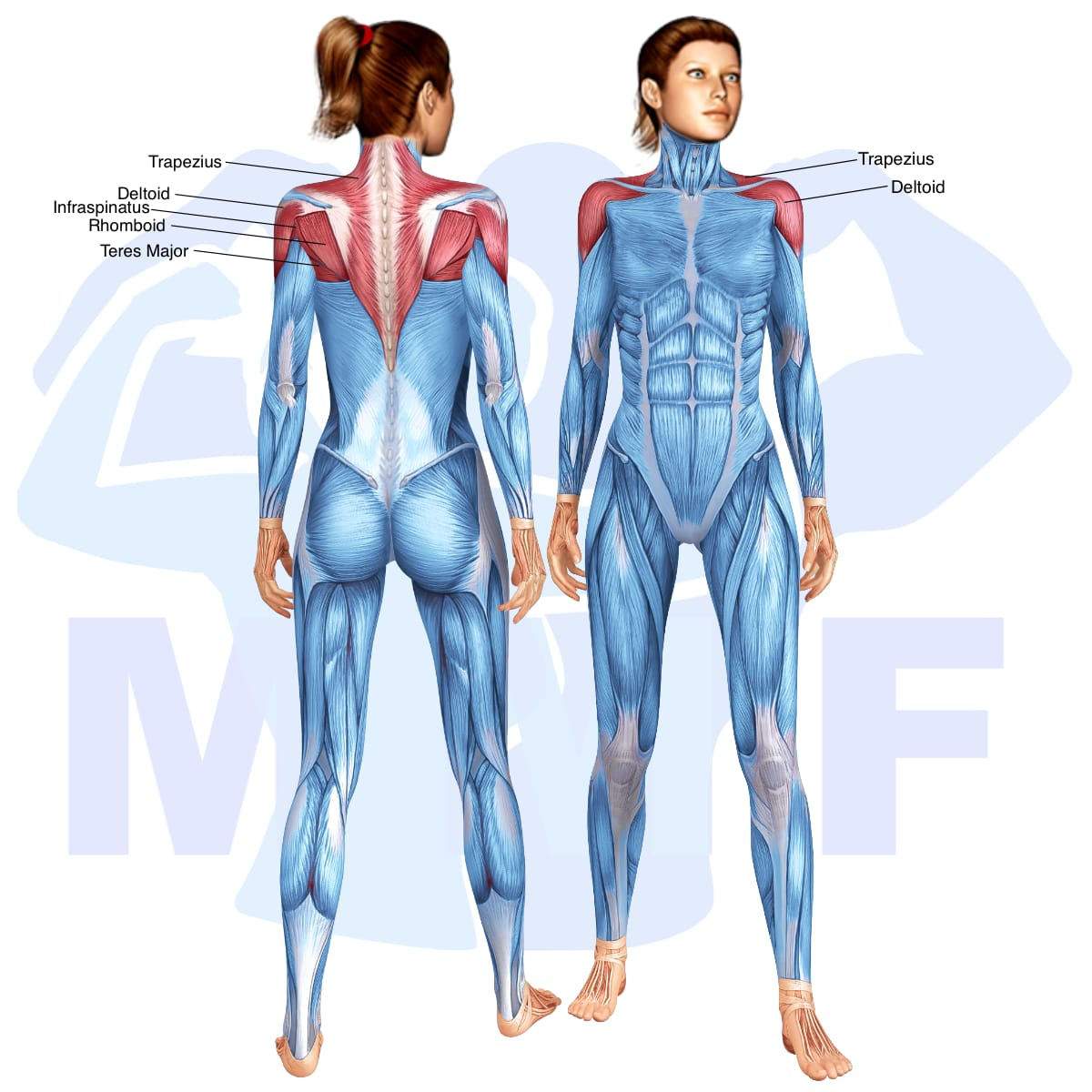 Skeletal muscle systems for a muscular woman, with muscles highlighted in red that are use during resistance band bent over rear lateral raises.