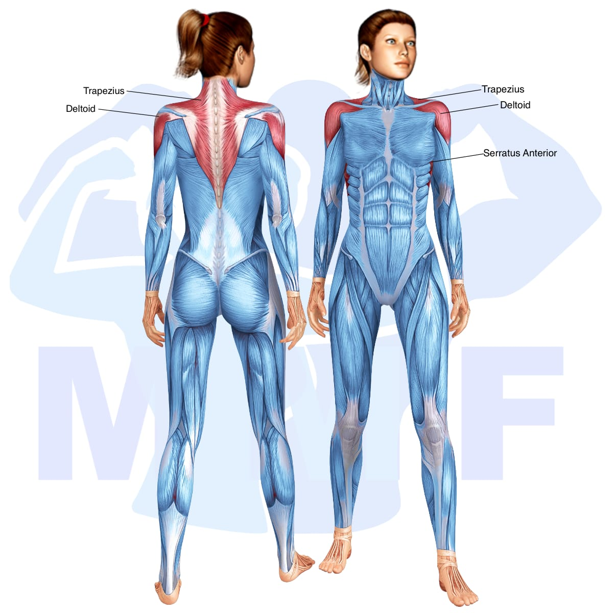 Skeletal muscle systems for a muscular woman, with muscles highlighted in red that are use during resistance band forward raises.