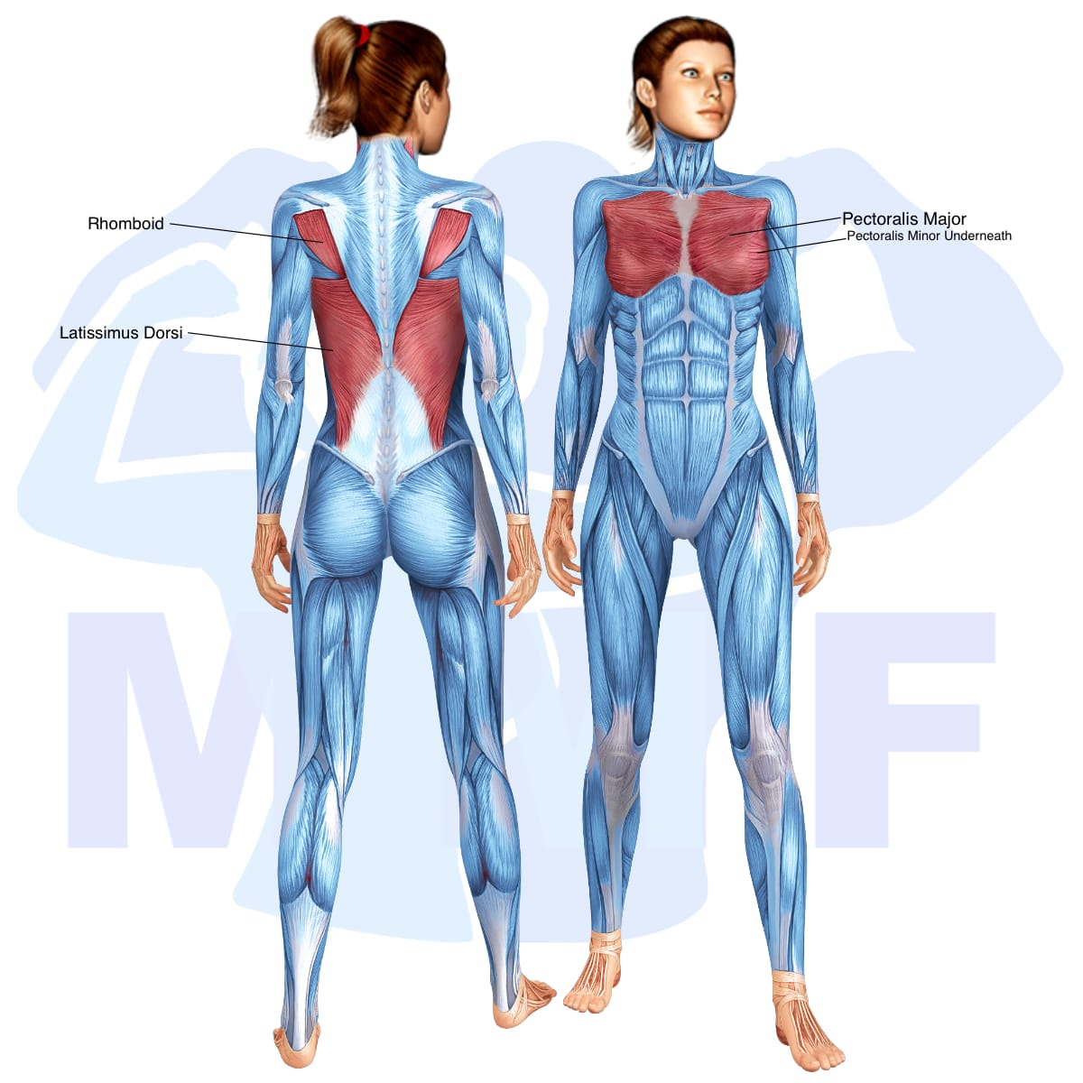 Skeletal muscle systems for a muscular woman, with muscles highlighted in red that are use during resistance band low chest flys.
