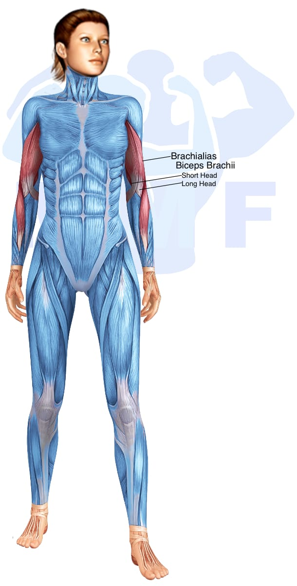 Skeletal muscle systems for a muscular woman, with muscles highlighted in red that are use during resistance band one arm bicep curls.