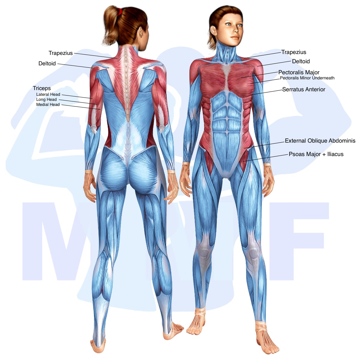 Skeletal muscle systems for a muscular woman, with muscles highlighted in red that are use during resistance band one arm shoulder press.