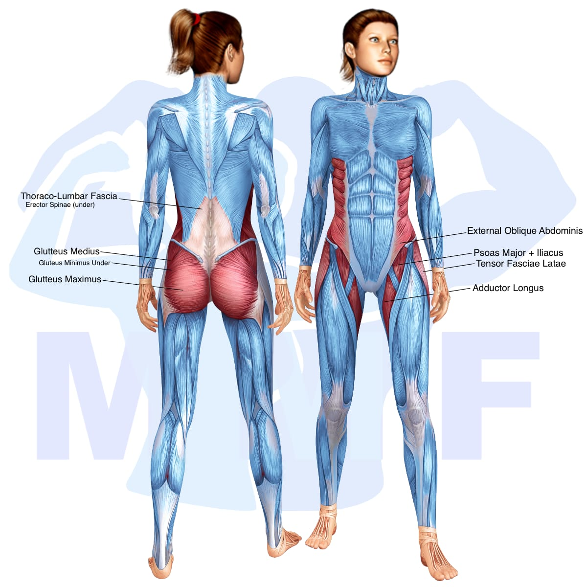 Skeletal muscle systems for a muscular woman, with muscles highlighted in red that are use during resistance band pull down standing twists.