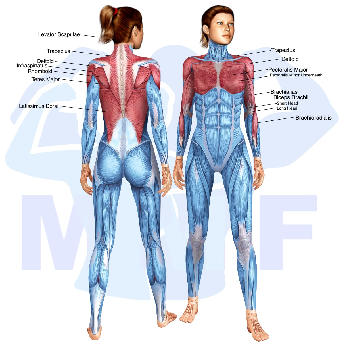 Skeletal muscle systems for a muscular woman, with muscles highlighted in red that are use during resistance band pulldowns.