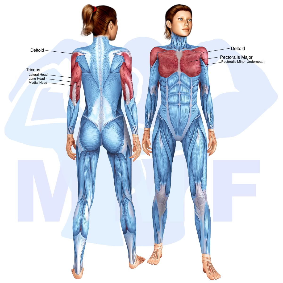 Skeletal muscle systems for a muscular woman, with muscles highlighted in red that are use during resistance band push ups.