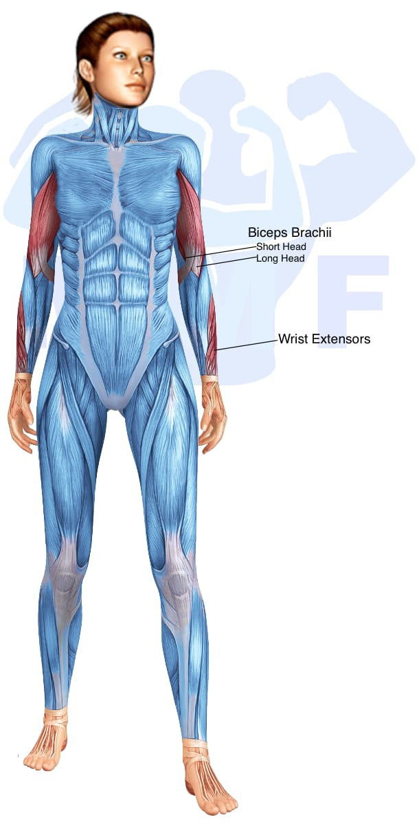 Skeletal muscle systems for a muscular woman, with muscles highlighted in red that are use during resistance band reverse grip curls.
