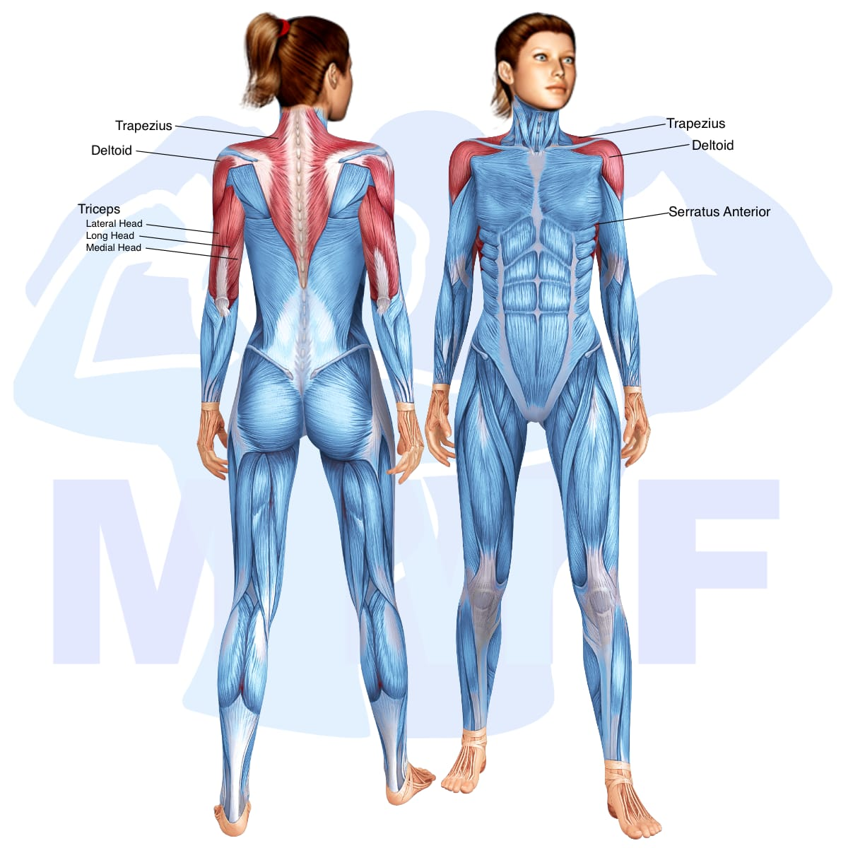 Skeletal muscle systems for a muscular woman, with muscles highlighted in red that are use during resistance band shoulder press.