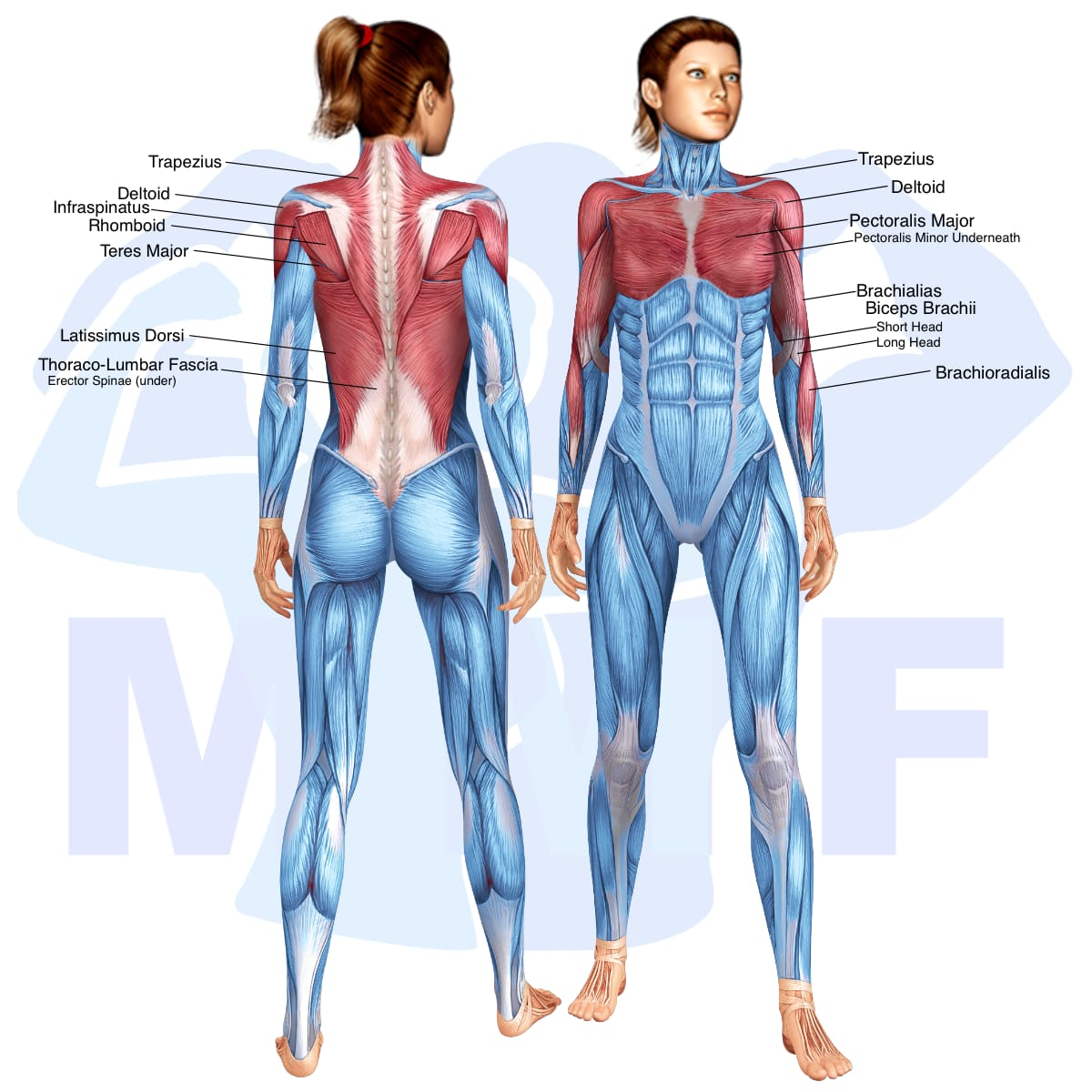 Skeletal muscle systems for a muscular woman, with muscles highlighted in red that are use during resistance band standing rows.