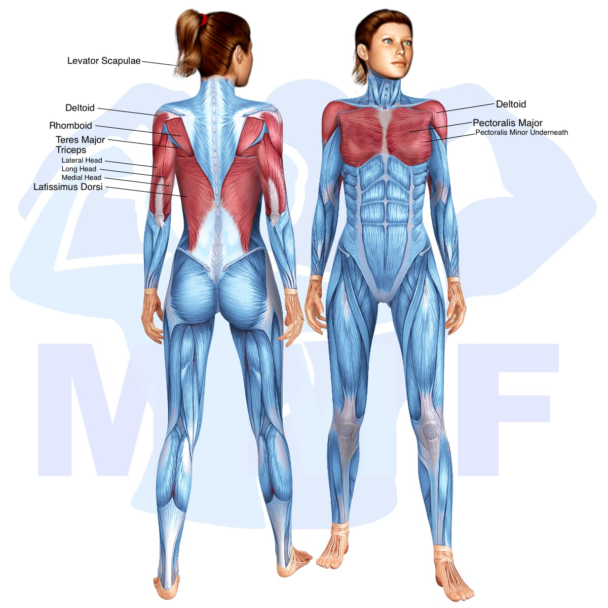 Skeletal muscle systems for a muscular woman, with muscles highlighted in red that are use during resistance band straight arm pulldowns.