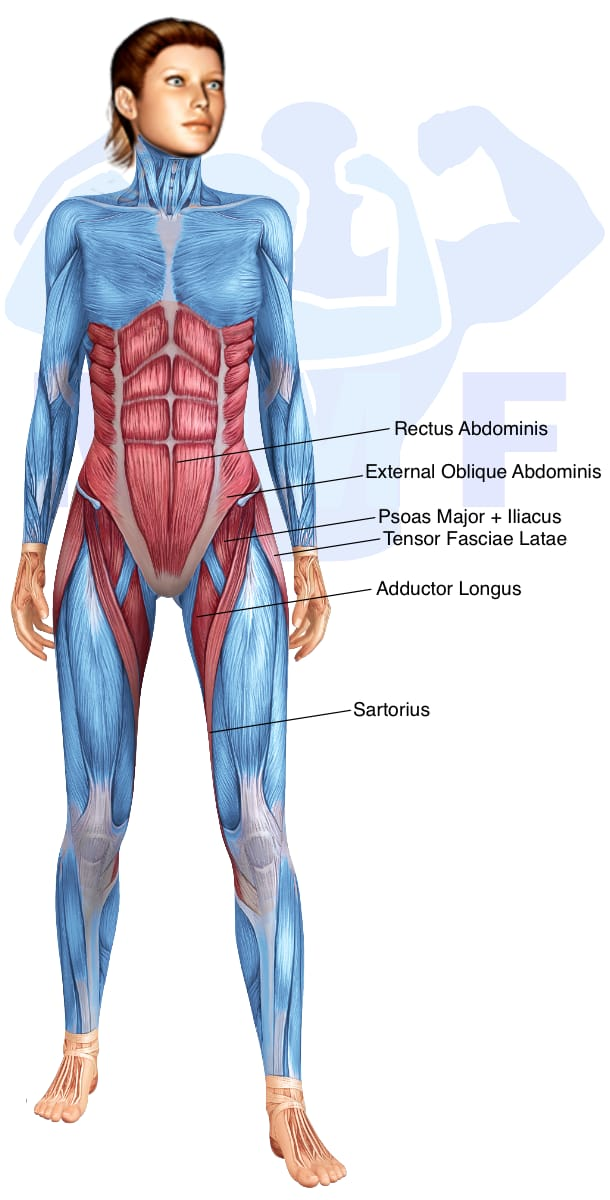 Skeletal muscle systems for a muscular woman, with muscles highlighted in red that are use during resistance band straight leg raises.