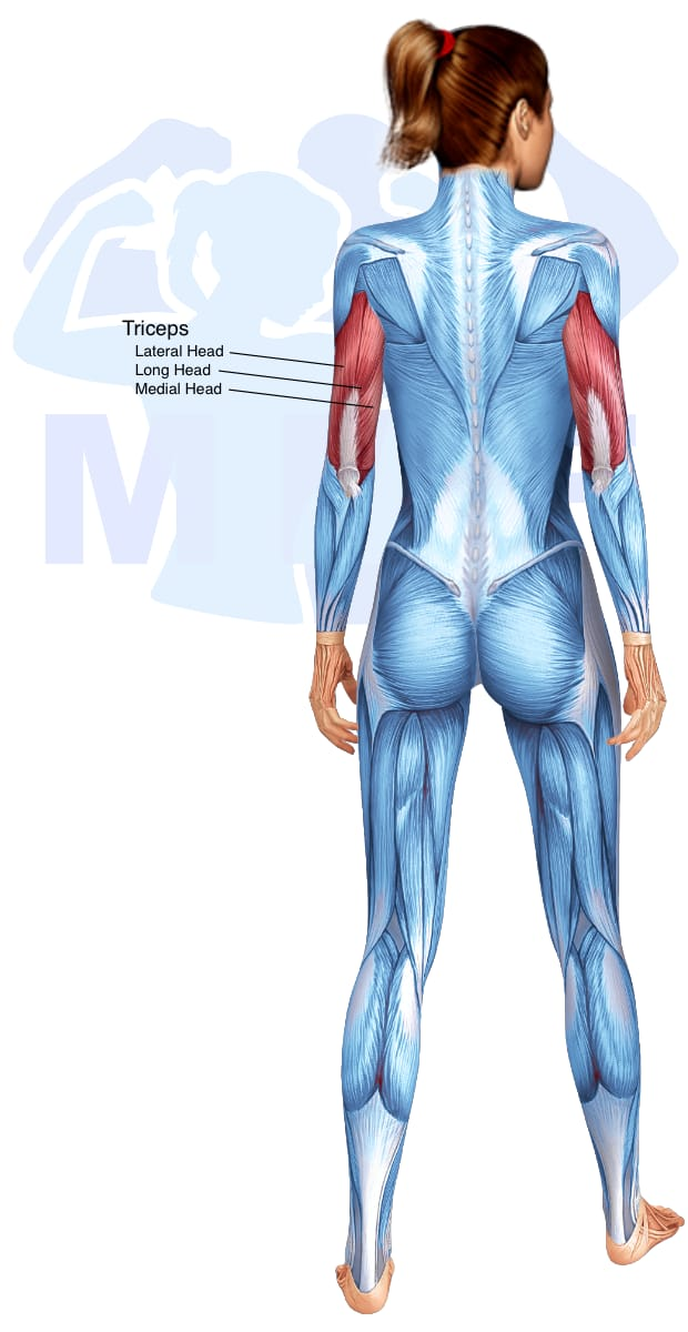 Skeletal muscle systems for a muscular woman, with muscles highlighted in red that are use during resistance band tricep kickbacks.