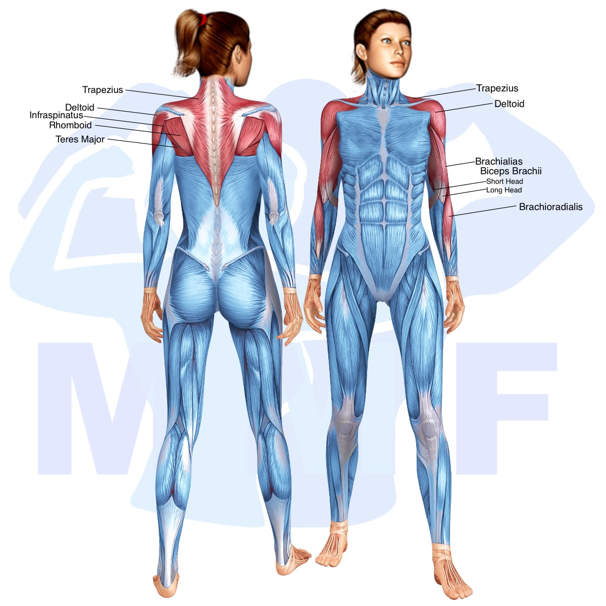 Skeletal muscle systems for a muscular woman, with muscles highlighted in red that are use during resistance band upright rows.